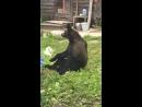 Медведи пришли в гости