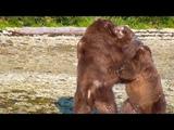 Alaska Brown Bears Fighting Over a Whale Carcass Katmai National Park
