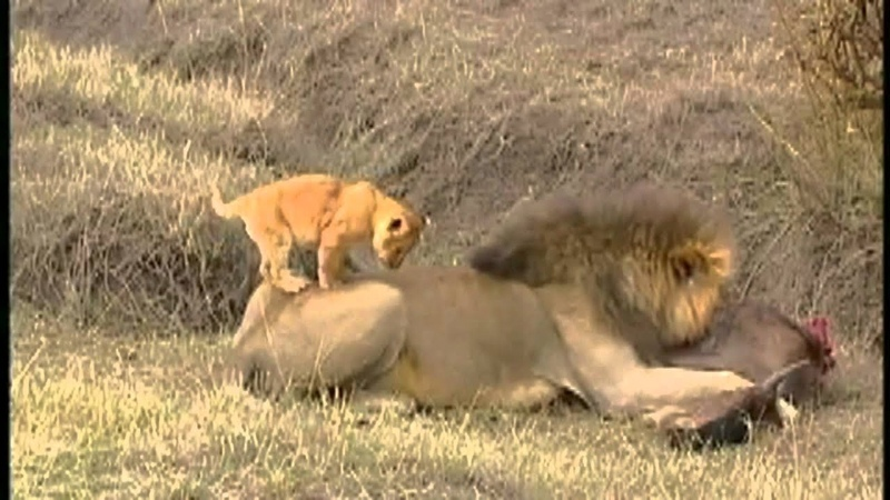 Жизнь львят