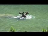 Ныряющий олень!