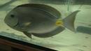 Эксклюзивные кадры рыба хирург осваивается в севастопольском аквариуме