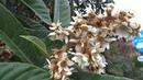 Чудо природы мушмула цветет в декабре плоды созреют в июне Лазаревское Сочи 14 декабря 2018