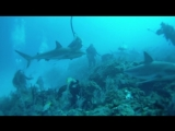Куба 2010 год. Фрагмент погружения с акулами в Садах королевы