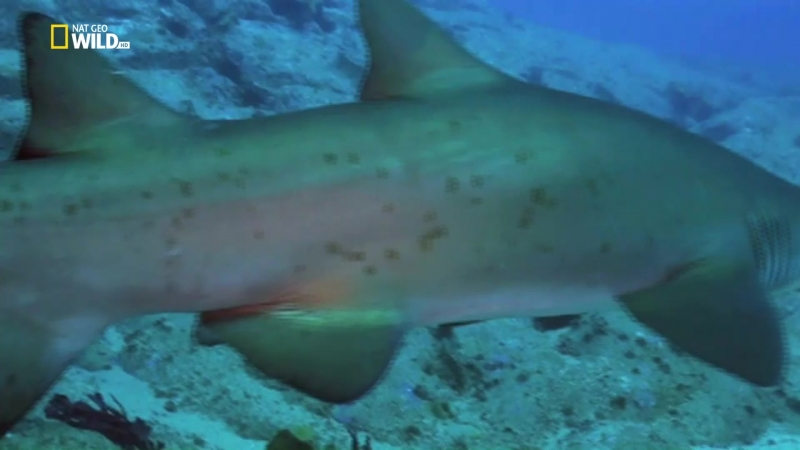 Nat Geo Wild: Самые опасные животные. Безумные акулы (2017) HDTV 1080i