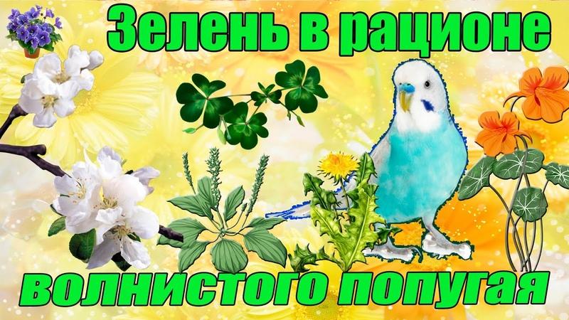 Зелёный корм в рационе волнистых попугаев с весны до глубокой осени.Трава, зелень, цветы