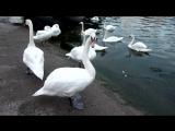 Лебеди-шипуны в Балтийске