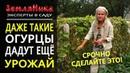 NEW Продлеваем плодоношение огурцов и кабачков в сентябре Срочно сделайте это 0