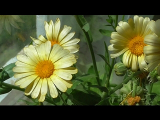 Жёлтая календула цветёт