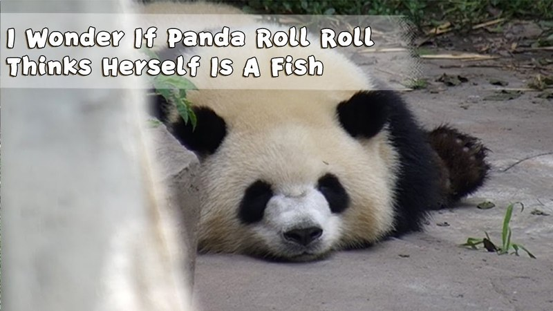 I Wonder If Panda Roll Roll Thinks Her Is A Fish iPanda