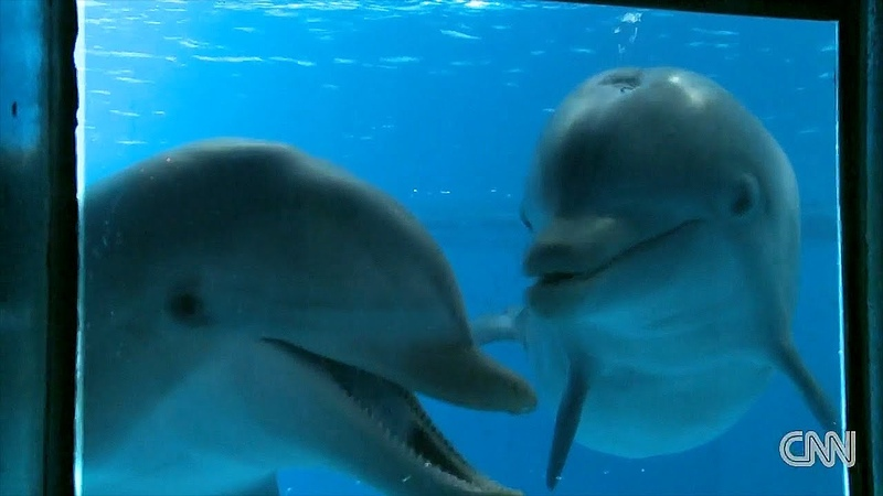 CNN - Dolphins in the Mirror HD - Animal Self-Consciousness (Upconverted to 1080p from 720p)