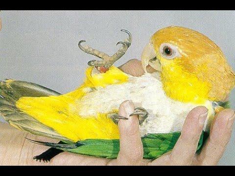 Caique Papağanı renkli kuş dünyası