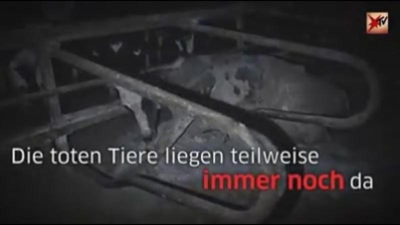 Stern TV Tote schon verwesende Kühe liegen zwischen