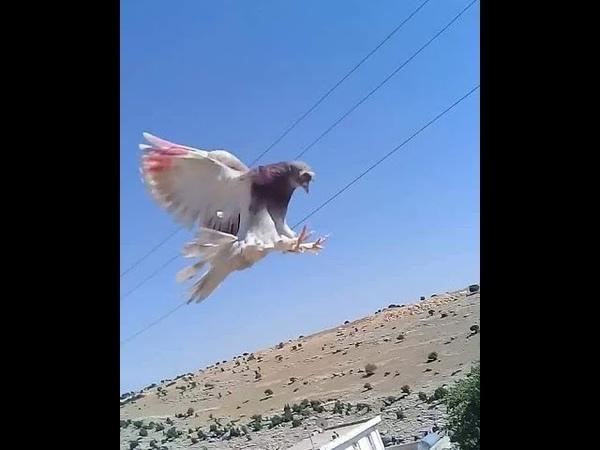 Taklacı Güvercinlerden Muhteşem PERFORMANS