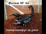 Фильм № 46 Хетерометрус на ужин