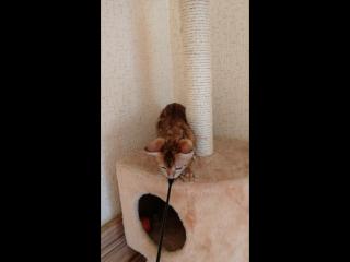 Female Ashima Cats Julianna 2,5 mon