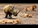 Лев спал, неожиданно сумасшедшая атака носорога, Лев удачливый побег, Носорог против Гиены