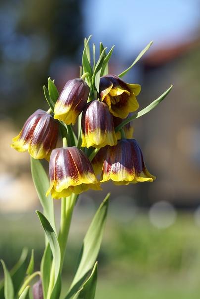 рябчик михайловского рябчик михайловского (fritillaria michailowsyi) изящное мелколуковичное растение высотой 15-25 см. его родина северо-восток турции. вид описан в 1904 году.в последнее время