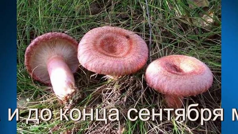 Грибной сезон. Съедобные грибы.