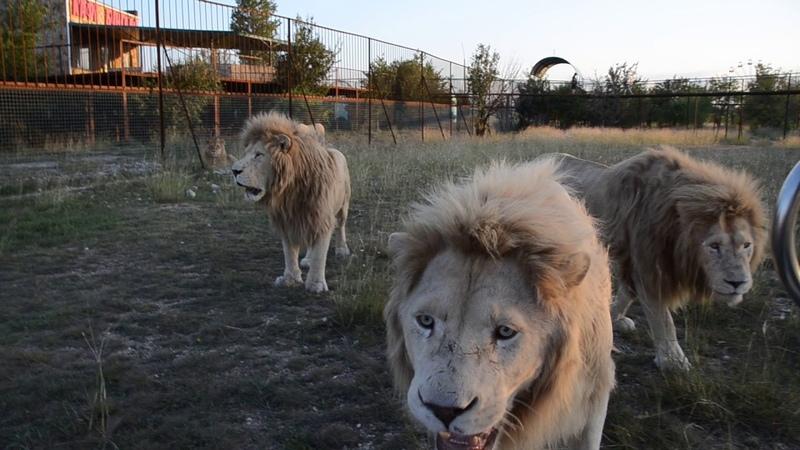 ОЧЕНЬ АДРЕНАЛИНОВОЕ ВИДЕО Смеркалось и львы стали сами делить мясо