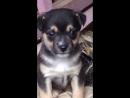 Видео черненького щенка девочка