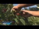 Вести Воронеж Вятский студотряд приехал почти за 1 5 тыс км на уборку воронежского урожая