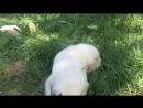 Золотистый ретривер щенки от Рейси❤️💖💕