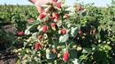 Лучшие сорта ремонтантной малины Сорт Похвалинка Советы по выращиванию