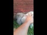 в семье пополнение) Французский баран, девочка-3 месяца