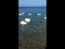 Лебеди в Анапе. Февраль 2018г