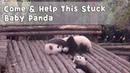 Come Help This Stuck Baby Panda | iPanda