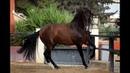 Андалузская лошадь - красавица в движении. Андалузы. Андалузская порода лошадей