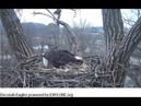 12 20 18~Decorah Eagle Cam~UME 2 brings in breakfast for Mom.