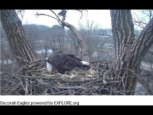 12 20 18~Decorah Eagle Cam~UME 2 brings in breakfast for Mom