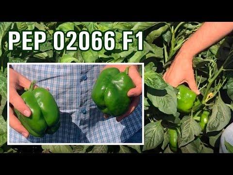 PEP 02066 F1 - Крупные тяжелые кубовидные перцы с темно-зеленого на красный цвет (26-07-2018)