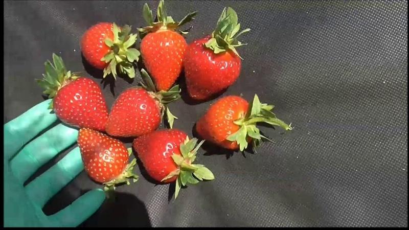 МОЛИНГ СТОЛЕТИЕ - ранний сорт со сладкой ягодой. (Шотландия).
