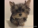 Time Lapse Puppy 12 weeks to 1 year Cute Yorkie Misa Minnie