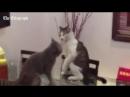 Коты борцы (480p).mp4