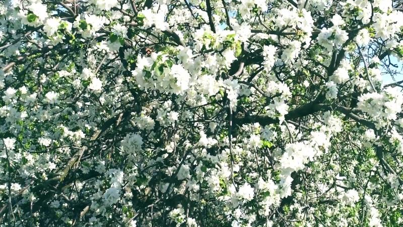 Яблони цветут. Вот она весна.