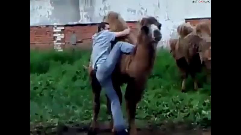 Когда докапался до верблюжихи но внезапно пришел ее кавалер ВоК