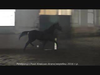 Рембрандт( Royal Classic Elite (Роял Классик Элит) -Агапа)жеребец 2016 г.р.