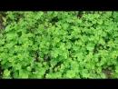 Манжетка как растёт в природе Адыгея