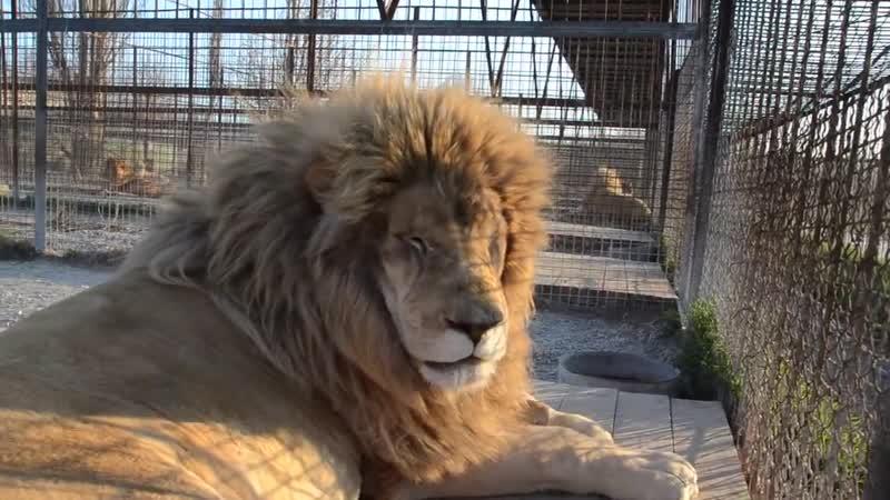 Лев красавец Ричард