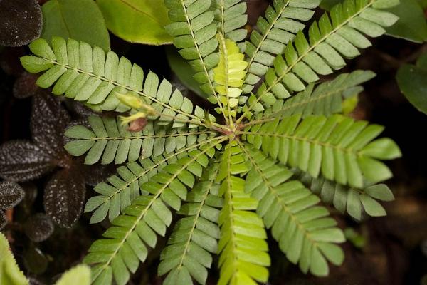 биофитум-комнатное растение. биофитум - многолетнее травянистое растение, своим видом напоминающее маленькую пальму. особенность биофитума в его чувствительности на резкие внешние раздражители.
