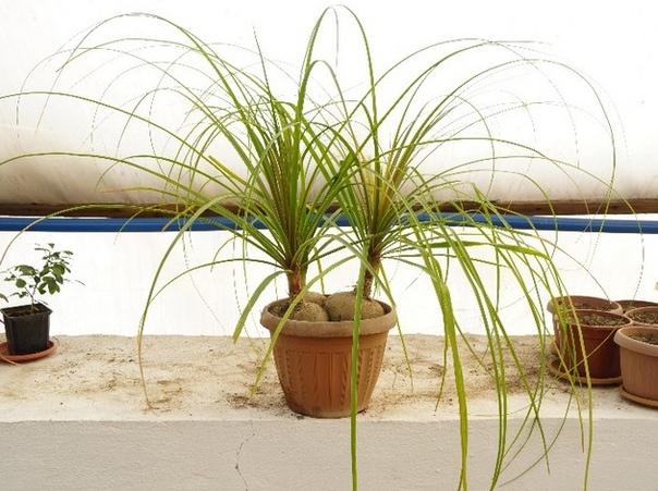 нолина-бокарнея. нолина, или бокарнея , родом из мексики, относится к семейству агавовых. нолина - растение молодого возраста, а бокарнея более взрослого. в цветочные магазины поступает на