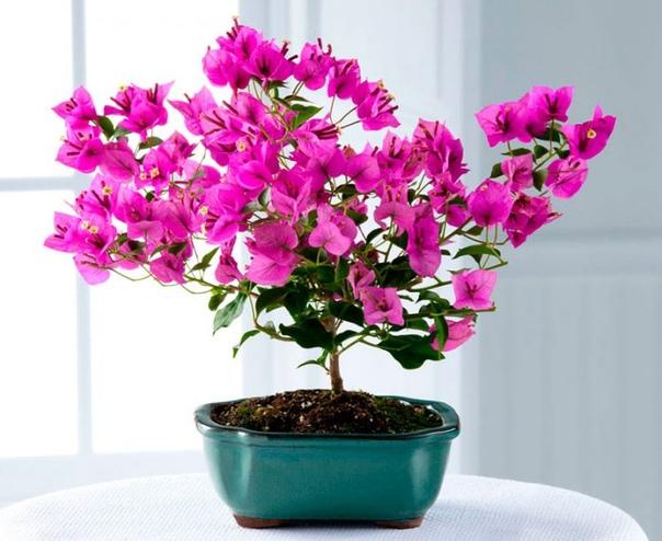 бугенвиллия. род, к которому принадлежит цветок бугенвиллея, назван так в честь л. бугенвиля - французского мореплавателя, адвоката, литератора. состоит примерно из 18 видов деревьев и лиан,