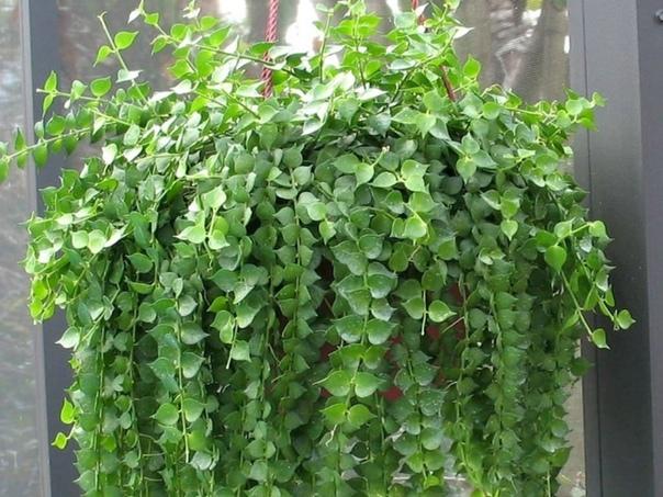 дисхидия гребневидная или гребешковая (dischidia pectinoides) декоративное растение, которое принадлежит к семейству ластовневых. родиной дисхидии являются филиппины. дисхидия-лиана, достигающая