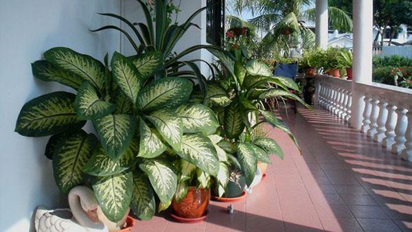 Комнатное растение-Диффенбахия / Dieffenbachia.