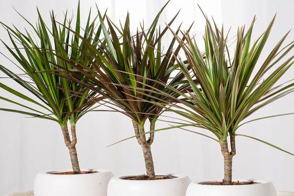 Драцена -уход и размножение растения.