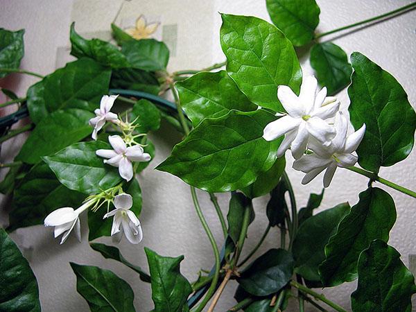 Комнатный жасмин - уход за цветком.