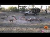 Львица и дикие Собаки - противостояние , чтобы спасти детёныша ...